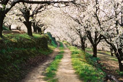 Fiesta del Cerezo en Flor en el valle del Jerte